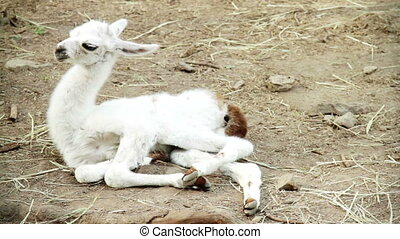 Baby White Guanaco