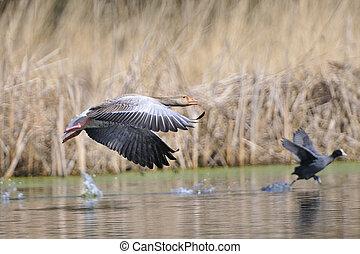 Greylag goose an a Eurasian Coot