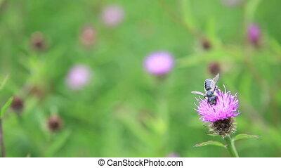 Honeybee and flowers