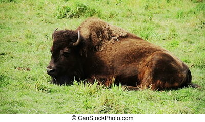one American bison breathing