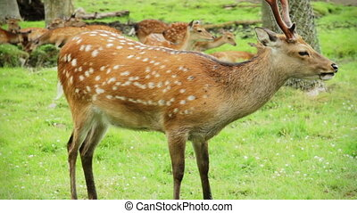 Video - Fallow deer