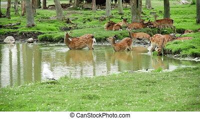 Herd of Fallow Deers