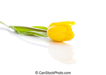 Yellow tulip isolated on white