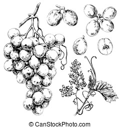 White grapes - Hand drawn illustrations of white grapes