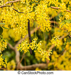 Golden shower, Cassia fistula flower