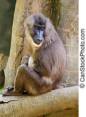 Young female baboon
