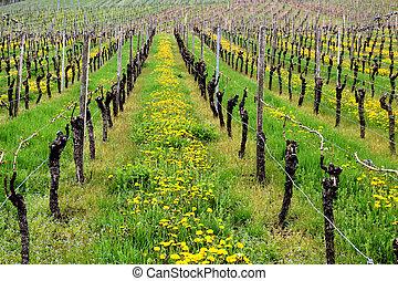Vineyeard and dandelions