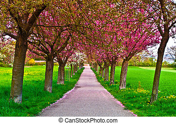Cherry Alley - Cherry tree alley with red blossoms