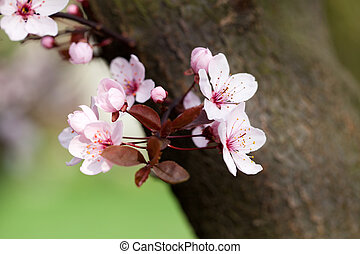 the spring in the garden. The flourishing plum tree