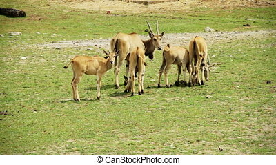 Family of Cape Eland - Complete Family of Cape Eland forming...