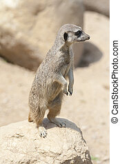 Suricata on the top of a rock