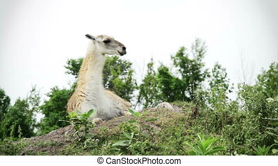 Video - White Guanaco - White Guanaco on top of the mountain...
