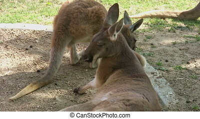 Kangaroos At The Zoo