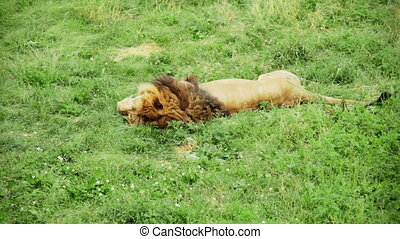 Lion Sleeping and moving the Tail