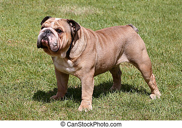 The English Bulldog on the green grass