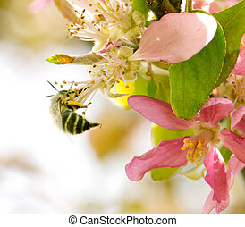 bee on flowers of apple in nature