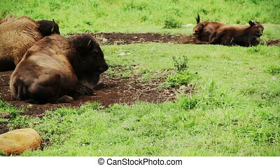 American Bison resting on ground because of a very hot day