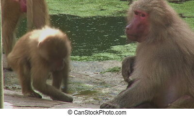Baboons playing near the water