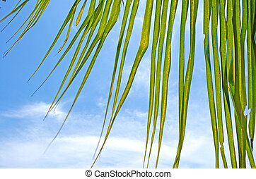 Coconut Leaf with Blue Sky