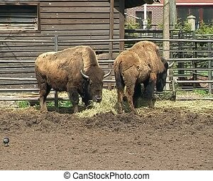 two bisons in the city zoo - two big brown bisons in the...
