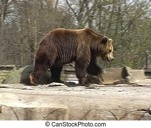 big brown bear in the city zoo