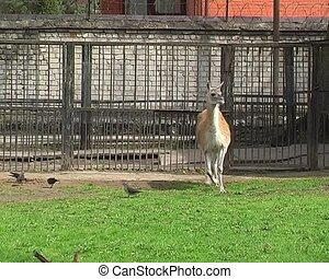 guanaco in city zoo on sunny spring day