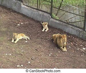 three lions in the city zoo