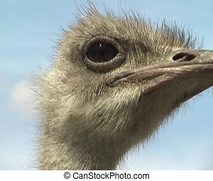 ostrich in the city zoo - head of ostrich in the city zoo...