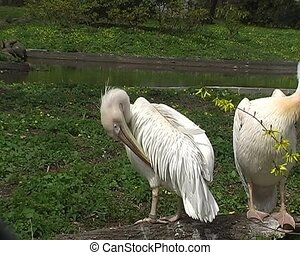 white pelican in city zoo - white pelican lying on green...