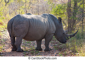 Wild rhino and African landscape in national Kruger Park in...