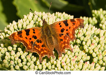 Comma on sedum flower buds in the sun - Comma sitting on...