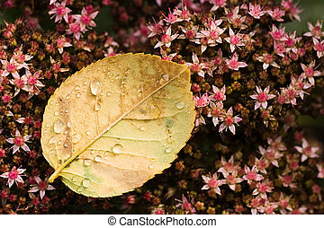 Rose leaf with drops on sedum - End of summer - Fallen Rose...