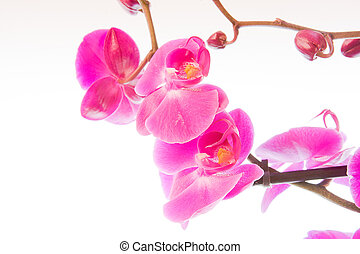 flowers of pink orchid on a white background