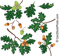 Oak branches with leaves and acorns - Set oak branches with...