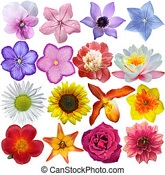 ensemble, fleur, têtes, isolé, blanc