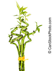 Bamboo plant (Dracaena sanderiana) on white background