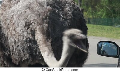 Danger - ostrich attacks car