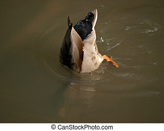 Diving duck - Detail of a diving duck