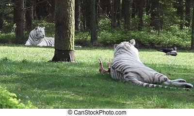 white tiger in park