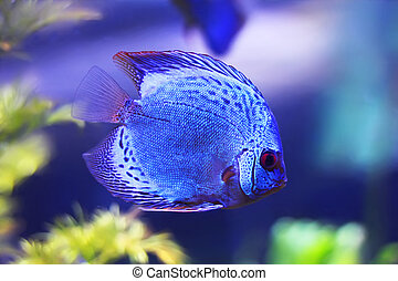 Discus fish - Beautiful photo of discus in aquarium