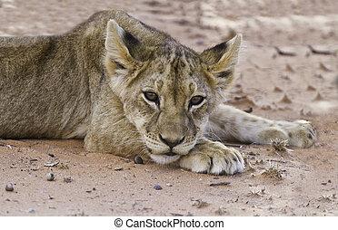 Lion cub lay on sand in kalahari looking