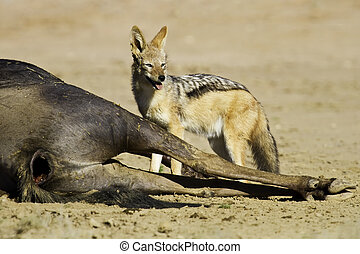 Black backed jackal eating dead wildebeest carcass in...