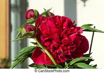 bud of peony flower