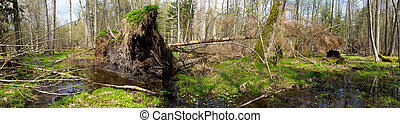Springtime alder bog forest with standing water and...