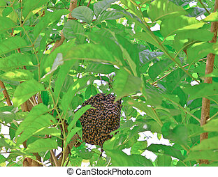 Honeybee swarm hanging tree