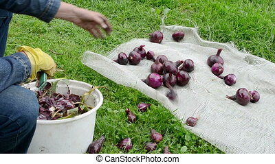 red onion hand woman - grandmother hand peel red ripe onion....