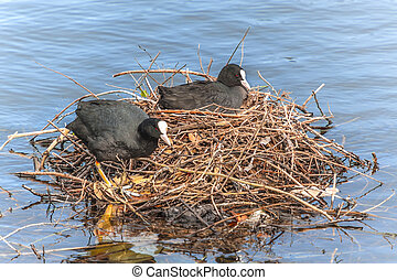 Coot (Fulica Atra) Sat on Eggs in Nest - Coots are...