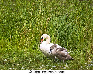 cygnet and grownup swan - cygnet and grownup swans at green...