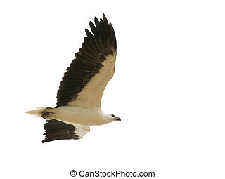 Sea Eagle - An Australian sea eagle isolated on a white...