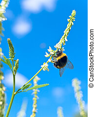 bumblebee on the white flower over the blue sky